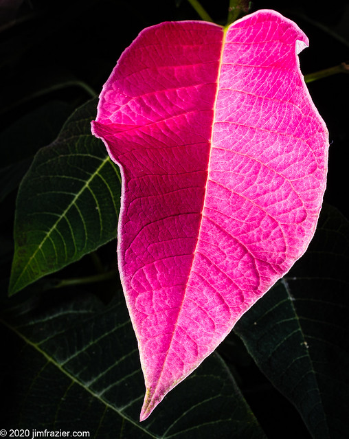 Now, THAT is Pink!   (Poinsettia III - Luv-U Pink)