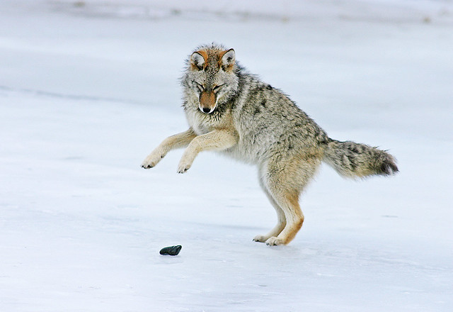 Coyote Playing With A Rock On A frozen Pond