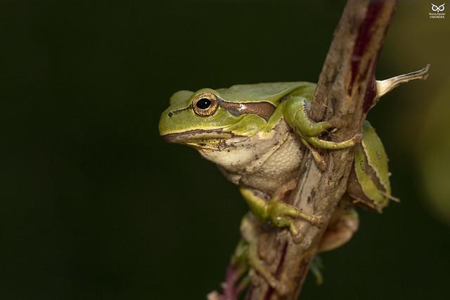 Rela-comum, Iberian tree frog(Hyla molleri)