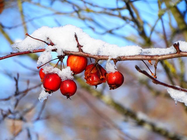 DSC01868 Snow Apple