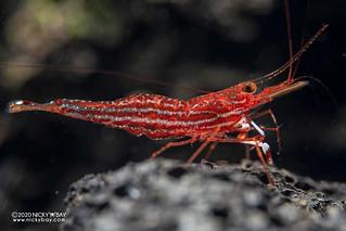 Red Line Blue Dot Shrimp (Caridina sp.) - PC281412
