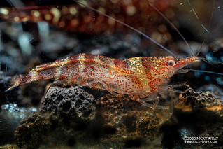 Ninja Shrimp (Caridina serratirostris) - PC281366