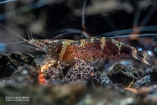 Ninja Shrimp (Caridina serratirostris) - PC281407