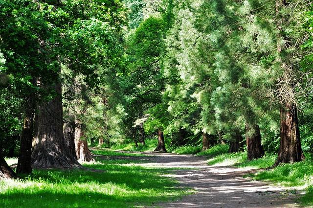 Wellingtonias...Langley Park