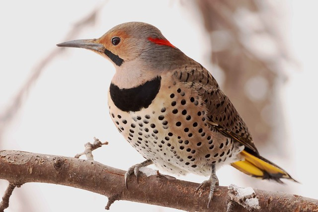 248A0805 yellow shafted flicker