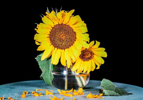 Sunflowers - Ben Heine Photography