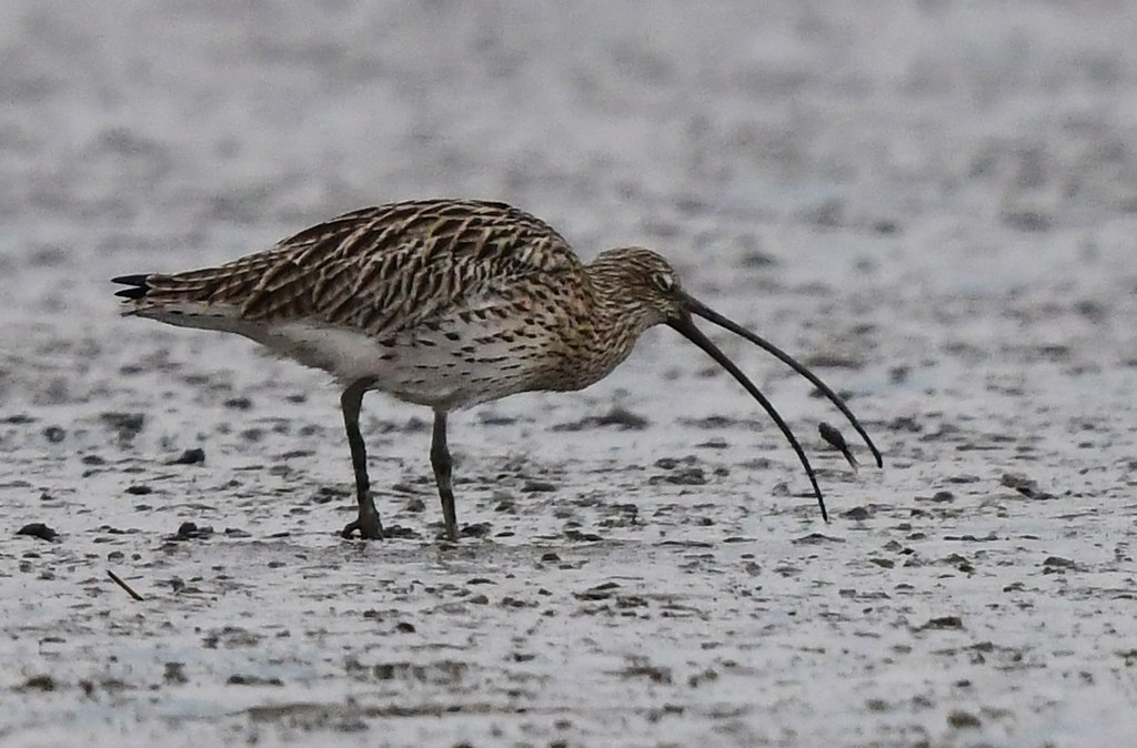 An Eurasian curlew catching a fish