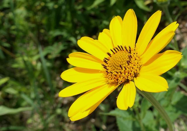 Wild Sunflower (Helianthus giganteaus)