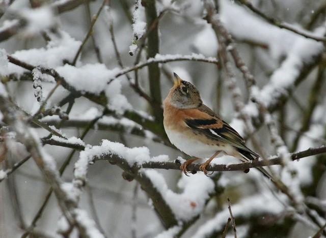 Birds in the snow (3 of 7)