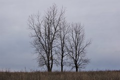 Three trees at Riverlands Migratory Bird Sanctuary