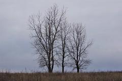 Three trees at Riverlands Migratory Bird Sanctuary