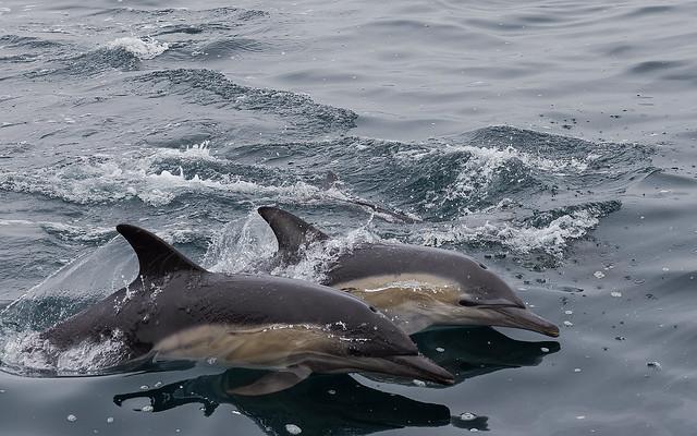 Dolphins-Tasmania
