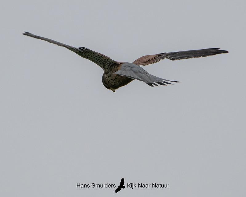 Torenvalk (Falco tinnunculus)-A20_1271