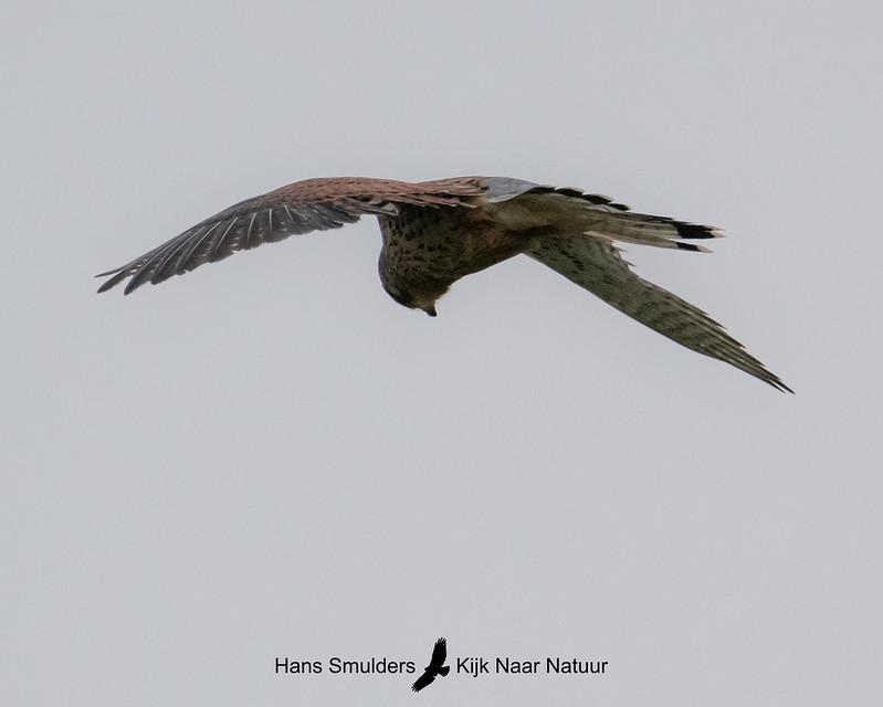 Torenvalk (Falco tinnunculus)-A20_1262