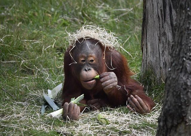 Little Borneo Orang-Utan with straw hat