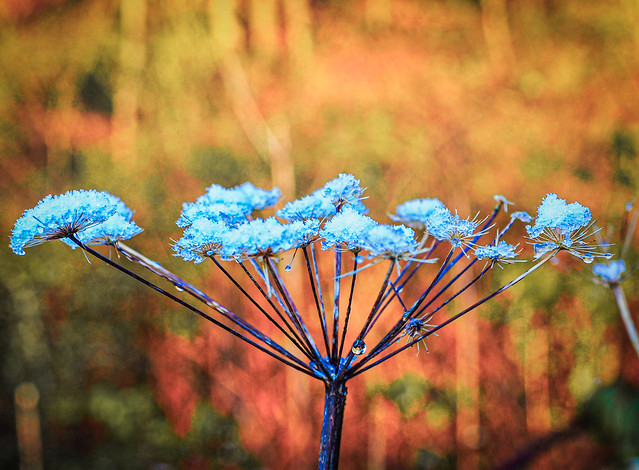 Cow parsley in winter light