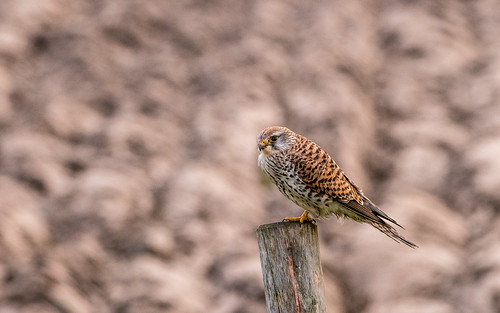 Common kestrel - Falco tinnunculus - Torenvalk