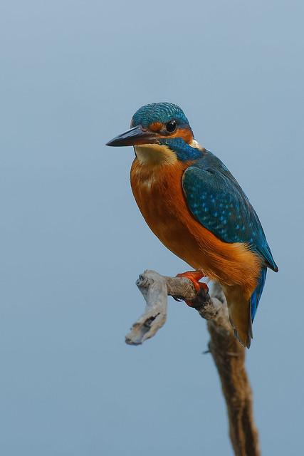 Martin-pêcheur d'Europe - Alcedo atthis - Common Kingfisher - Eisvogel - Martín pescador común - Martin pescatore europeo