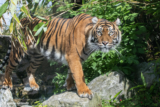 Sumatran Tigress - Zoo Maubeuge - France