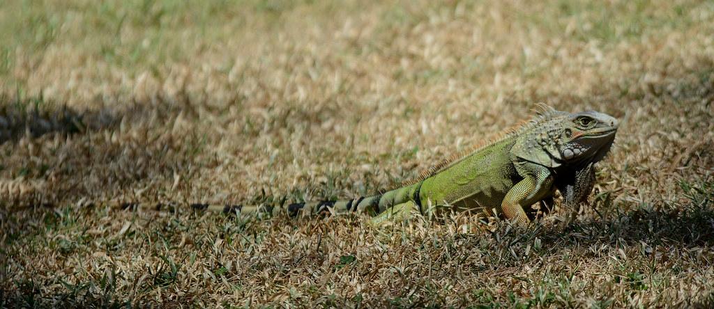 Green Iguaana