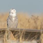Snowy owl, Lido Beach