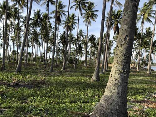Kokokpalmen op de voormalige Australische begraafplaats, Morotai.