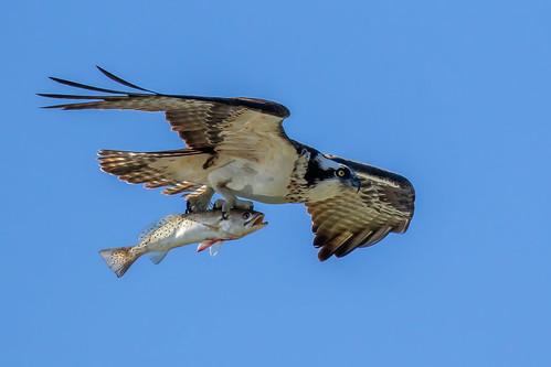 sky blue outdoor seaside dennis adair nature wildlife 7dm2 7d ii ef100400mm canon florida bird