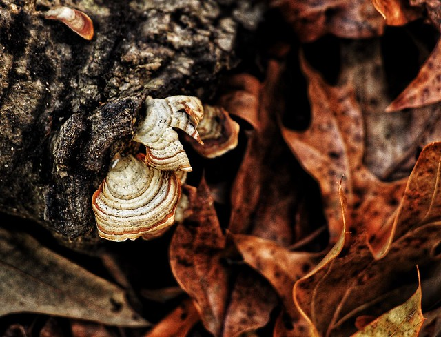 """Fungi ('Stereaceae')"""