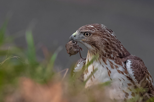 Immature Red-tailed Hawk with a Deer Mouse