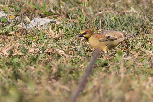 Plain-backed Sparrow  - male