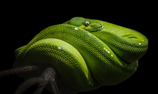 Green Tree Python. (EXPLORED).