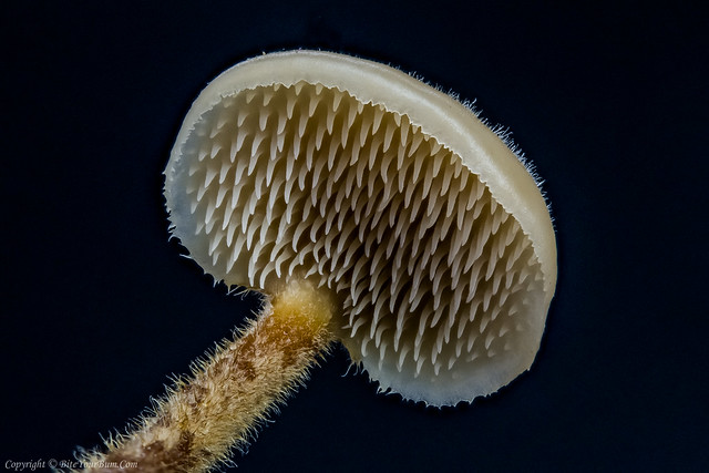 Earpick Fungus (Auriscalpium vulgare)