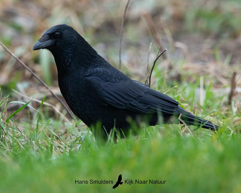 zwarte kraai (Corvus corone)-A20_1324-bewerkt