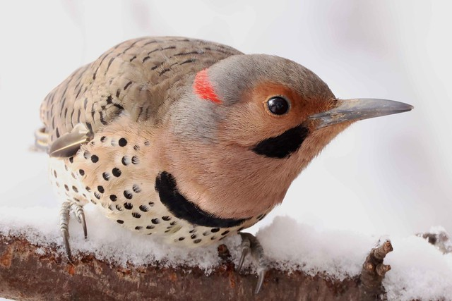 248A0568 yellow shafted flicker