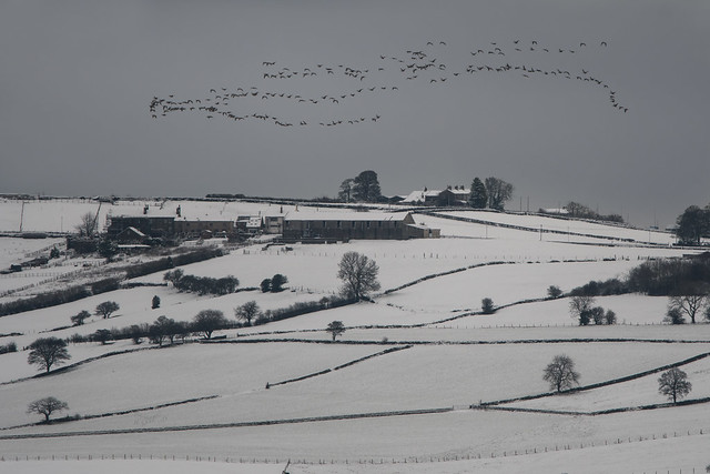 Pink-footed Geese over the snowy Pennines