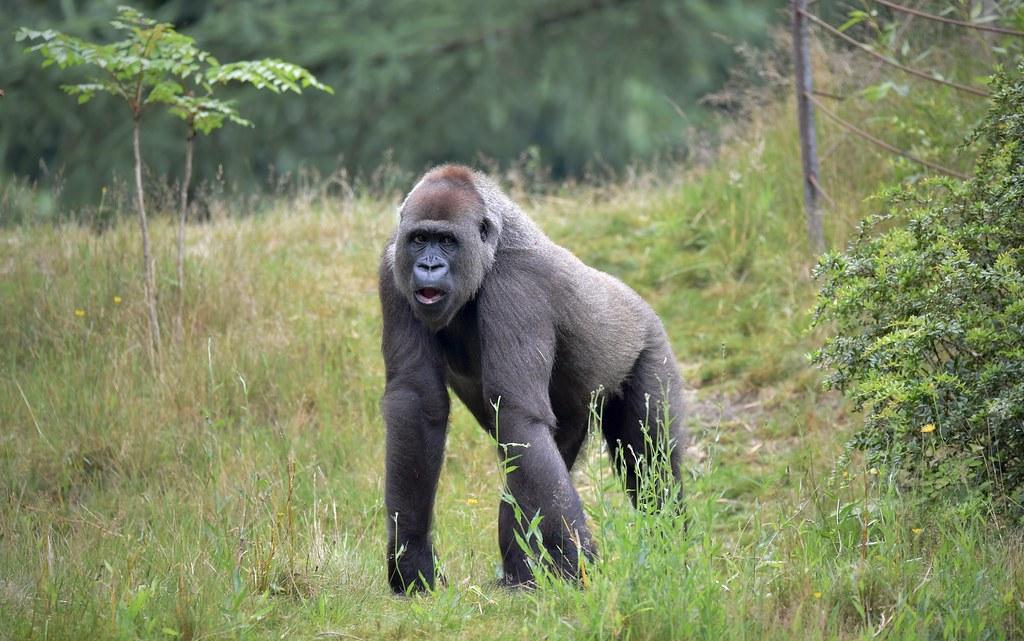 Westlicher Gorilla