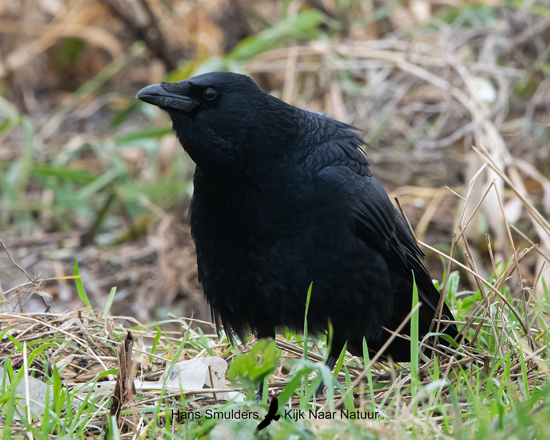 zwarte kraai (Corvus corone)-A20_1316-bewerkt