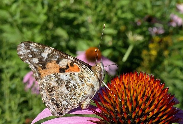 Painted Lady Sipping Nectar (Explored)