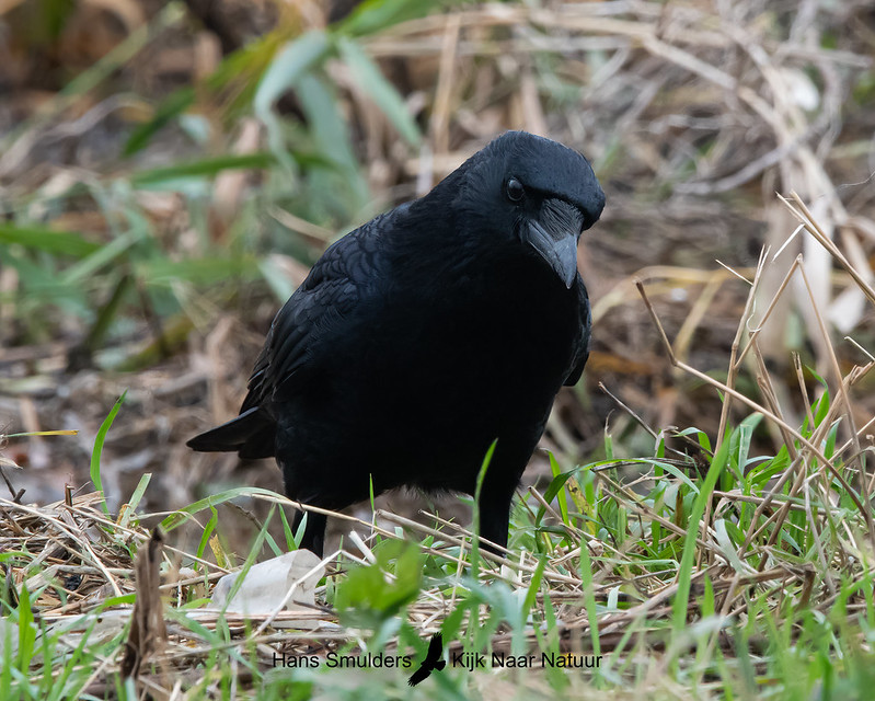 zwarte kraai (Corvus corone)-A20_1311-bewerkt