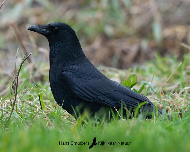 zwarte kraai (Corvus corone)-A20_1321-bewerkt