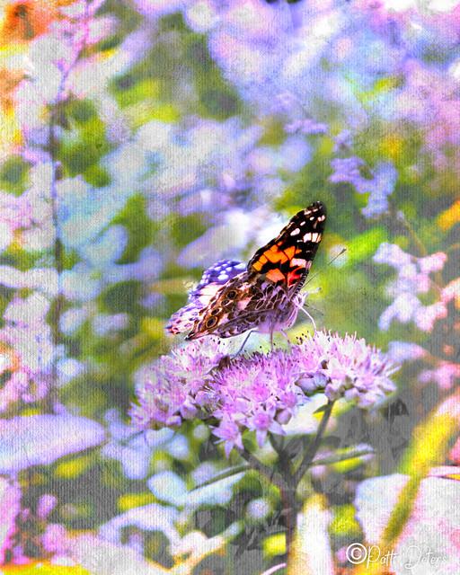 Painted Lady Butterfly On Flowering Sedum Matrona #6