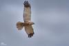Western Marsh Harrier,Rohrweihe,Busard des roseaux,Bruine Kiekendief