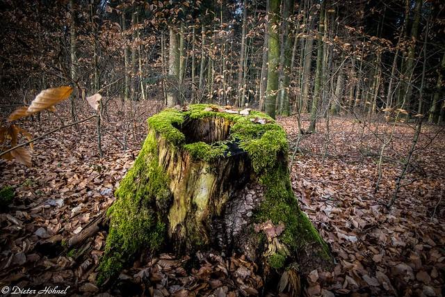 Baumstumpf im Winterwald