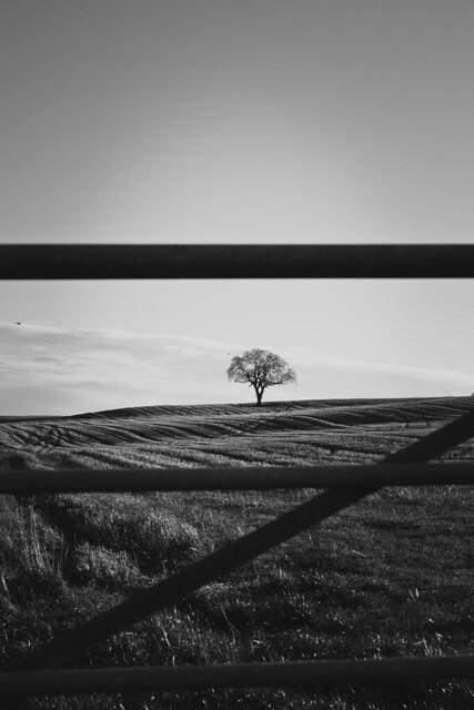 alone behind bars - a single tree in the fields.  Between Potterton and Belhelvie, Aberdeenshire, Scotland.