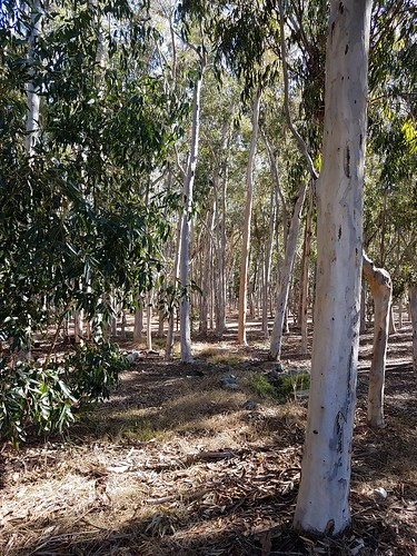 Into the Woods - Eucalyptus Grove