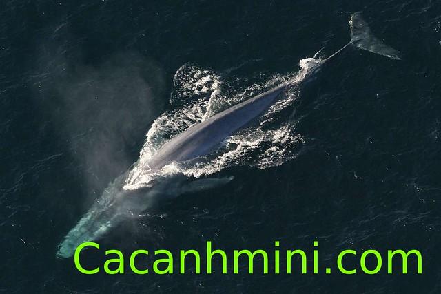 Cá voi xanh xuất hiện ở vùng biển gần Sydney