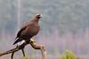 Golden Eagle (Aquila chrysaetos) Kungsörn