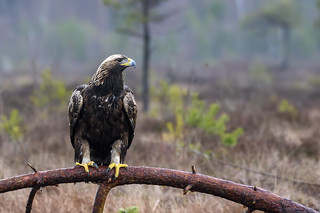 Golden Eagle (Aquila chrysaetos) Kungsörn | by peterhörenius