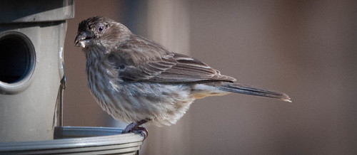 Messy Eating Finch