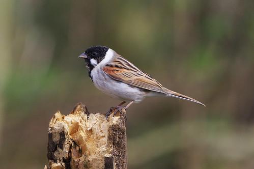 barnwellcountrypark emberizaschoeniclus northamptonshire bird nature reedbunting wild wildlife woodland